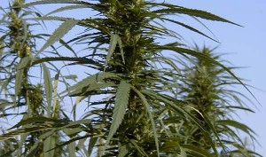 industrial hemp being grown for seeds