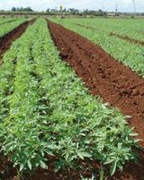 Industrial hemp farming is renewable and sustainable
