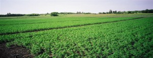 Industrial hemp being grown in a field