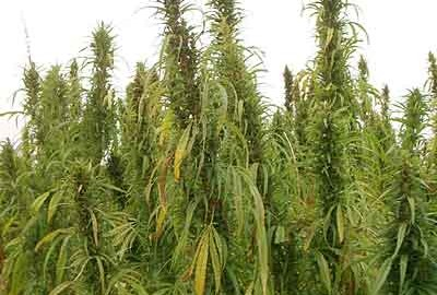 Hemp-It is time to allow farmers to grow hemp again