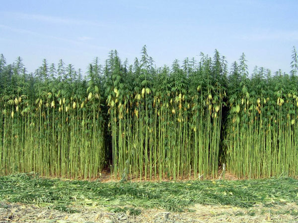 the history of the cultivation of the industrial hemp Hemp, (cannabis sativa), also called industrial hemp, plant of the family  cannabaceae cultivated for its fibre (bast fibre) or its edible seeds hemp is  sometimes.