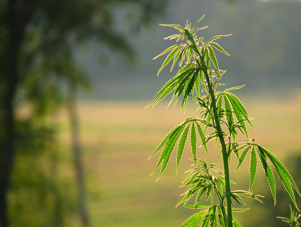 Soil Contamination – Phytoremediation with Hemp