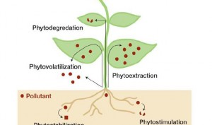 The phytoremediation process