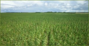 Growing hemp in Colorado will likely look like this
