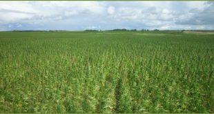 Growing hemp in Colorado will likely look like this
