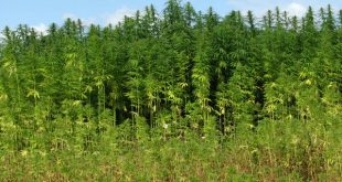 Hemp_(Cannabis_spec.)_-_detail_-_geograph.org.uk_-_538475