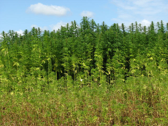 Hemp_(Cannabis_spec.)_-_detail_-_geograph.org.uk_-_538475