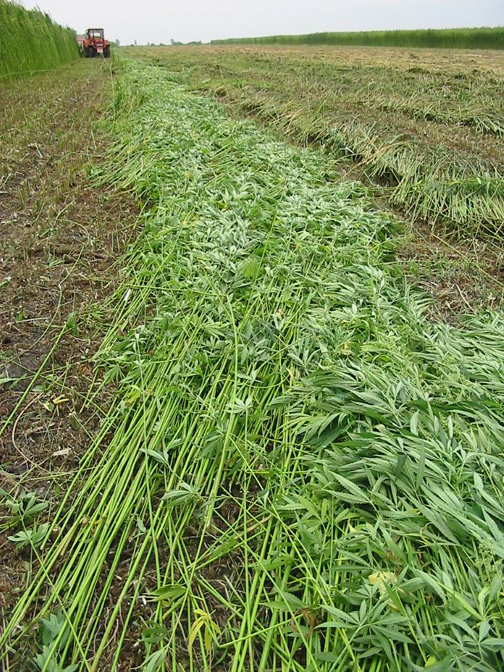 Hemp after being cut down, part of the harvest