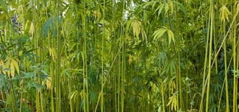 Hemp is great as a biofuel