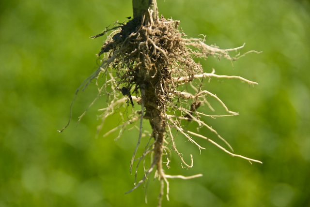 Industrial hemp roots are very strong and dense