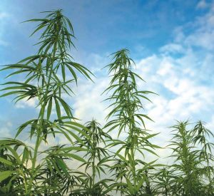 The industrial hemp stalks have now grown from 6 feet to a whopping 16 feet in just two months. Officials are calling it a great sign for things to come