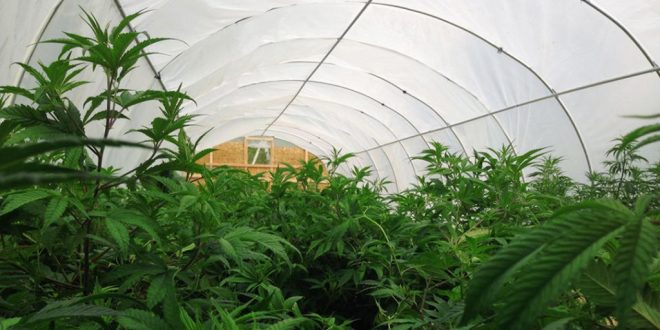 CBD Hemp growing in greenhouse