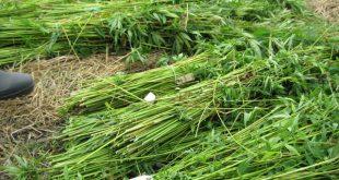 Green hemp stalk after a harvest