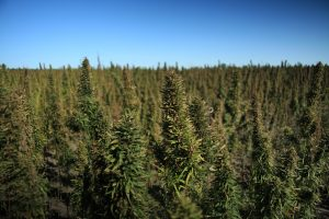 Industrial Hemp Field - Hemp Strains are important to the success
