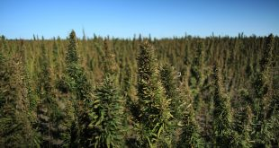 Industrial Hemp Field - Healthy and almost ready for harvest