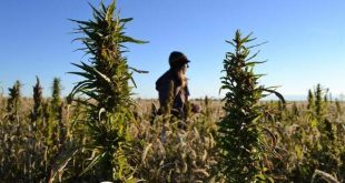 Colorado Hemp being harvested