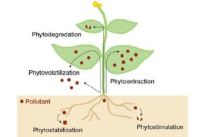 Hanf Phytoremediation